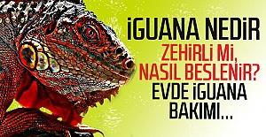 İguana evde beslenir mi? İguana bakım